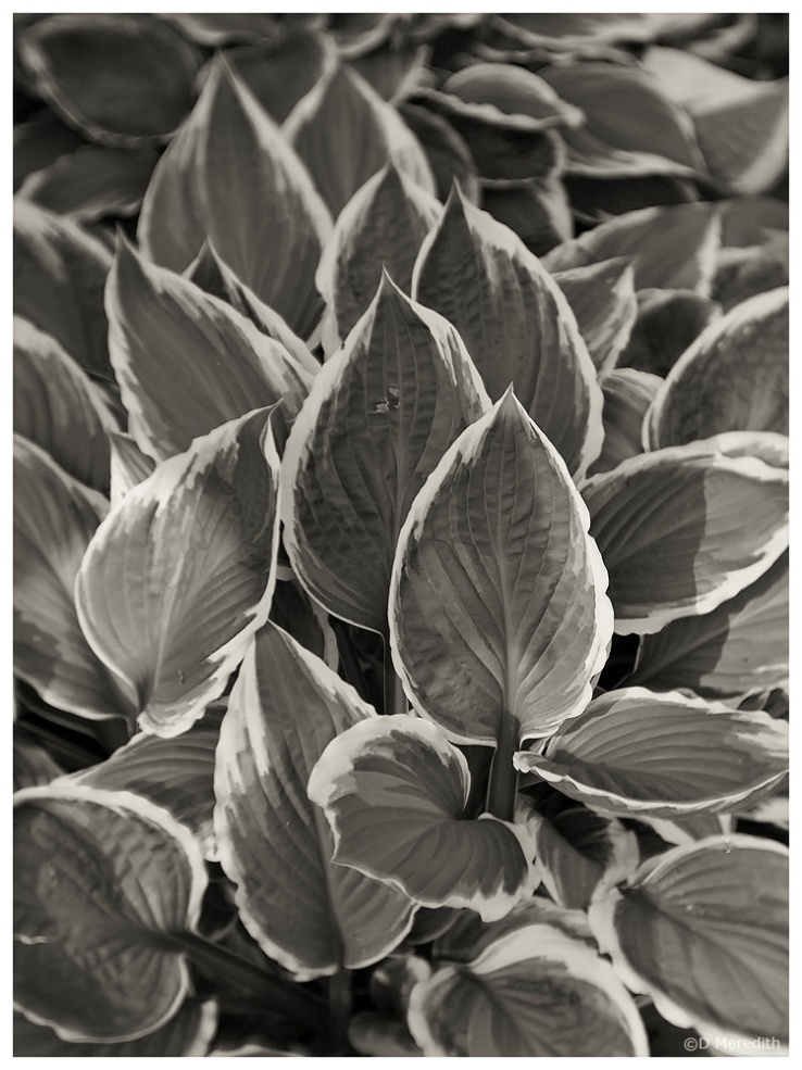 Monochrome conversion of some variegated leaves.