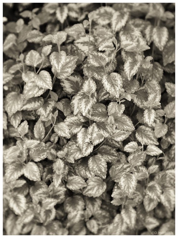 Variegated leaves in monochrome.