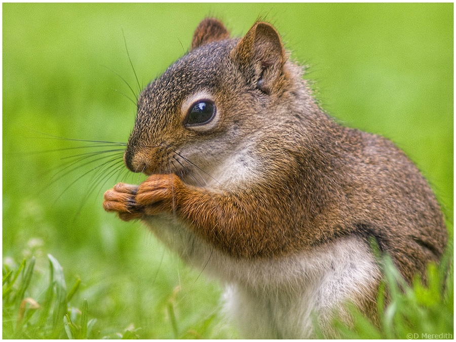 American Red Squirrel portrait.