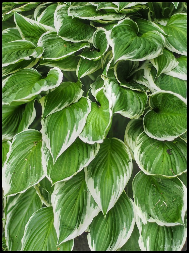 Some variegated leaves in the spring.