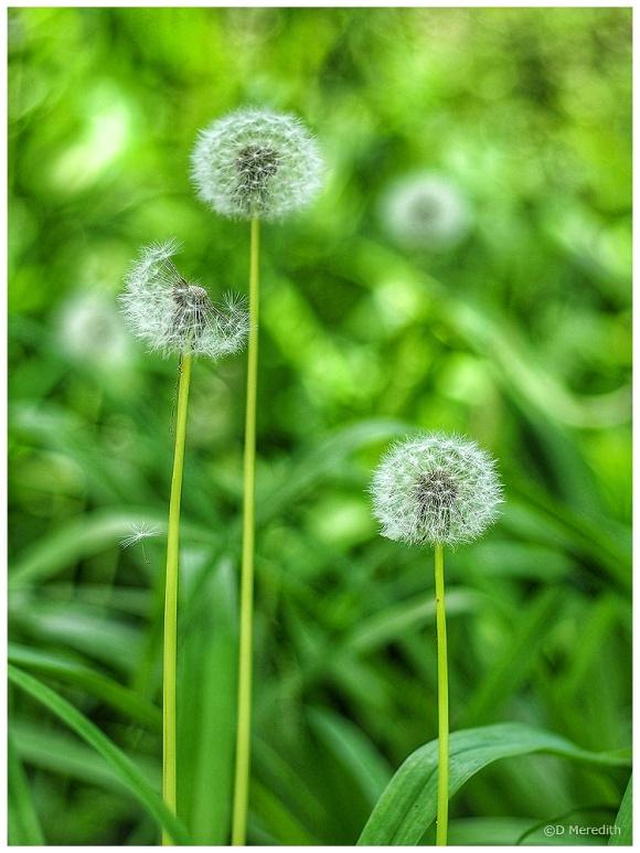 Dandelion seed heads.