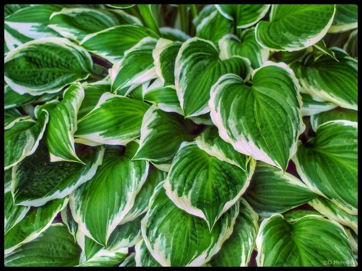 Variegated leaves detail.