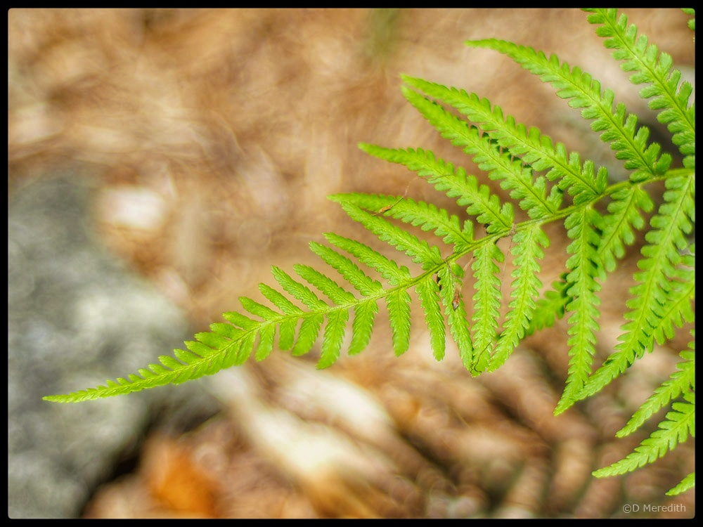 Bracken frond with an adapted lens from the 1970s.