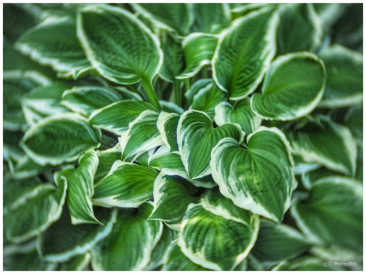 Interesting variegated Hosta leaves.