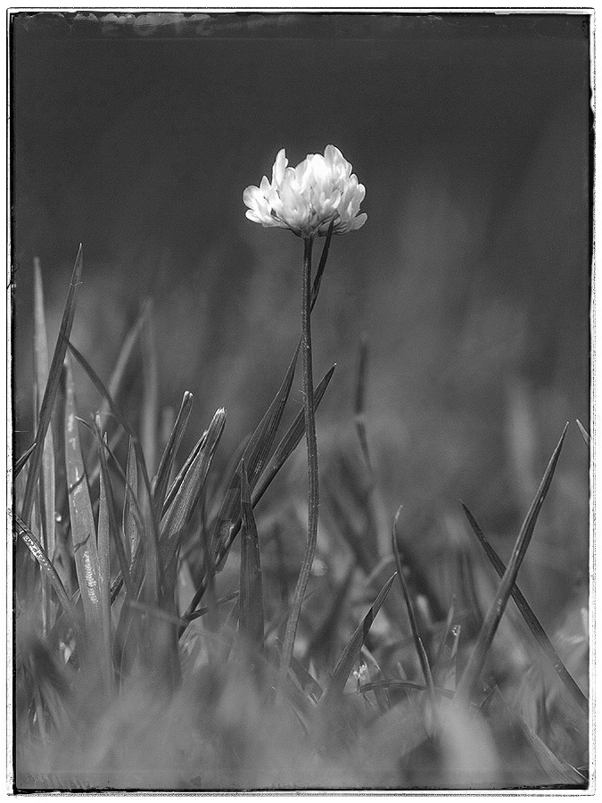 Clover flower in monochrome.
