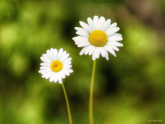 A pair of Oxeye Daisies.