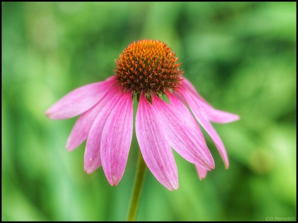 Echinacea or Coneflower.