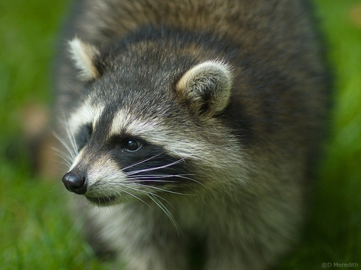 Portrait of a Racoon.
