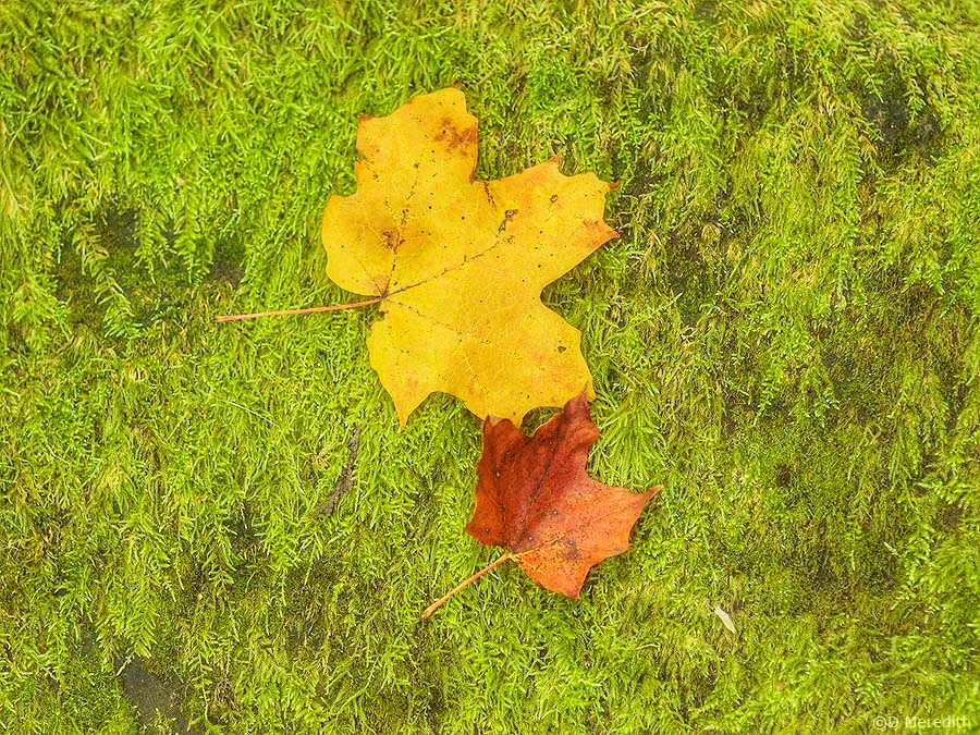 A pair of Maple leaves.