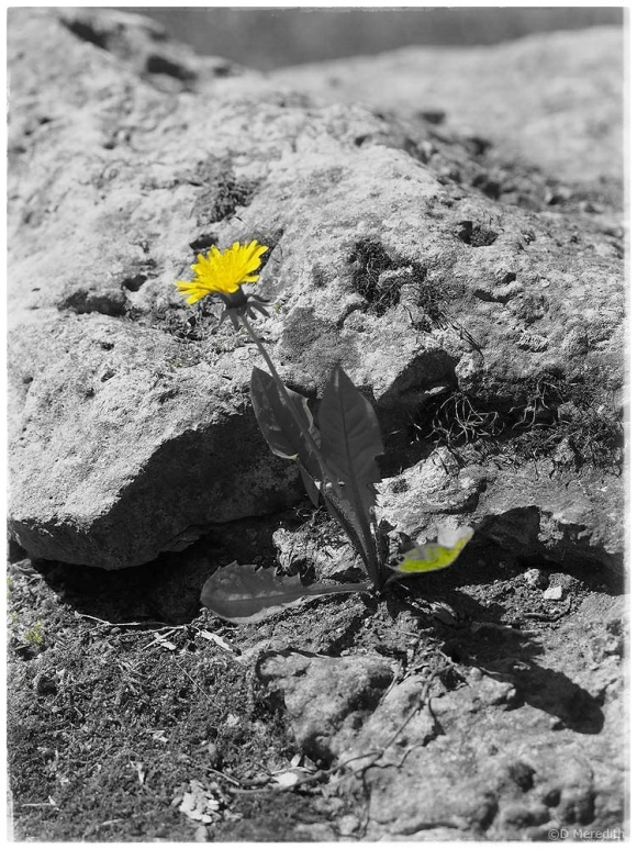 Selective colour of a Dandelion.