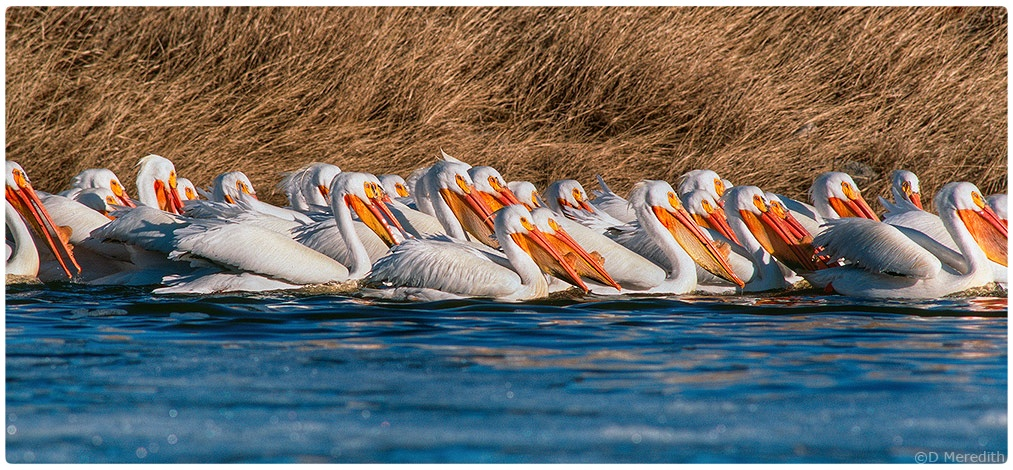 Feeding party of American White Pelicans.