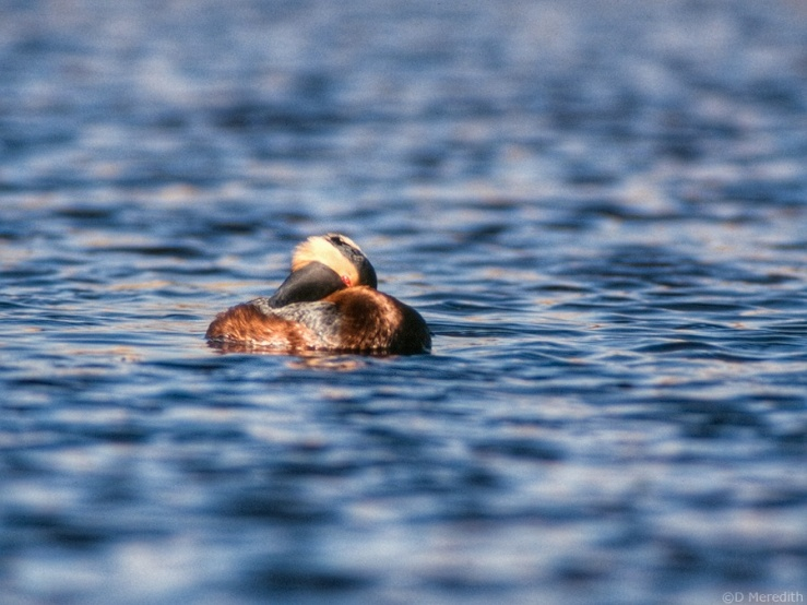 Known as the Slavonian Grebe in the U.K.