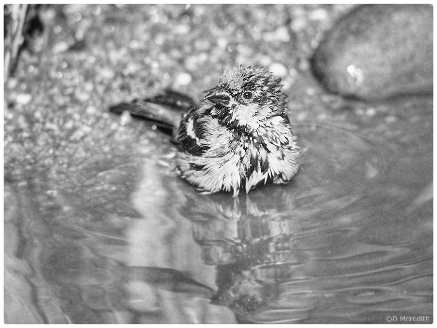 Monochrome House Sparrow bathing.