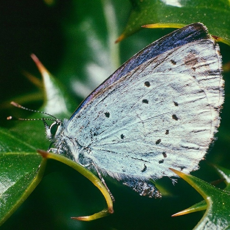 July Squares: Holly Blue Butterfly.