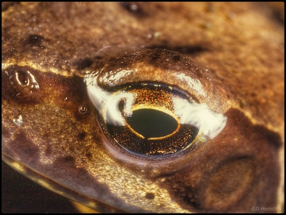 Intimate portrait of a Common Frog.