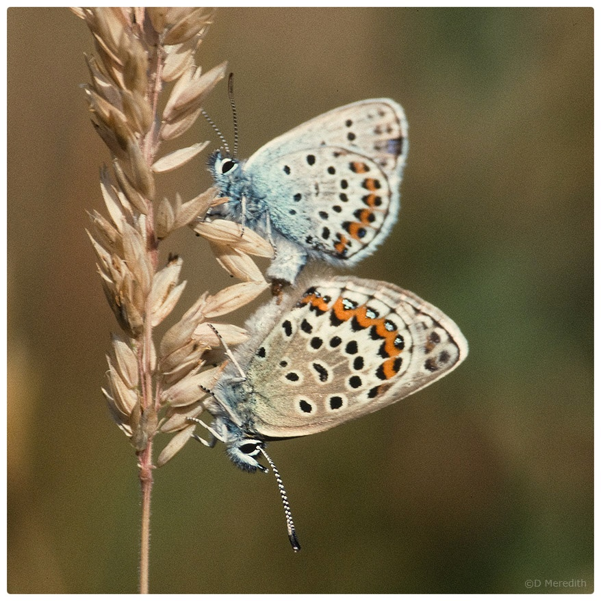 July Squares: Silver-studded Blue Butterflies.