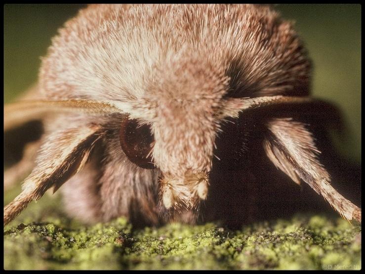 Portrait of a Common Quaker Moth.