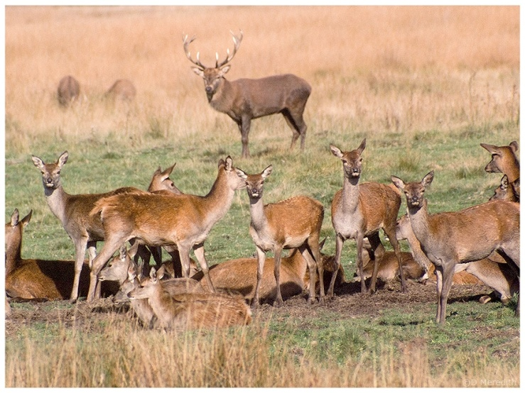 Red Deer stag and it's harem.
