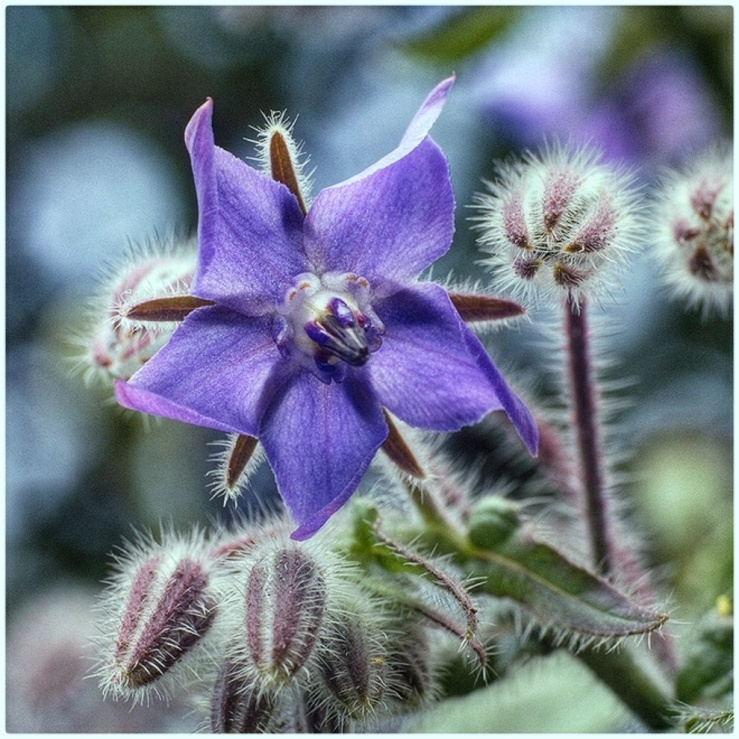July Squares: Blue Borage flower.