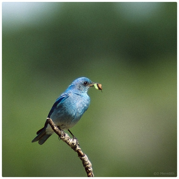 July Squares: Mountain Bluebird.
