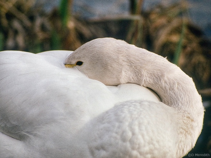 Bewick's Swan napping.