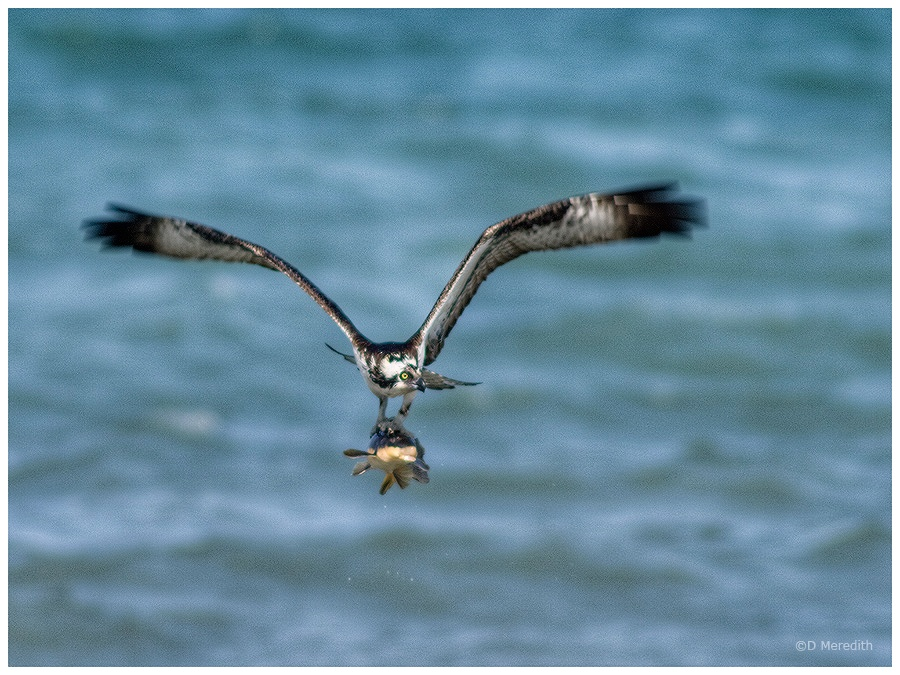 Flying Osprey with flying fish.
