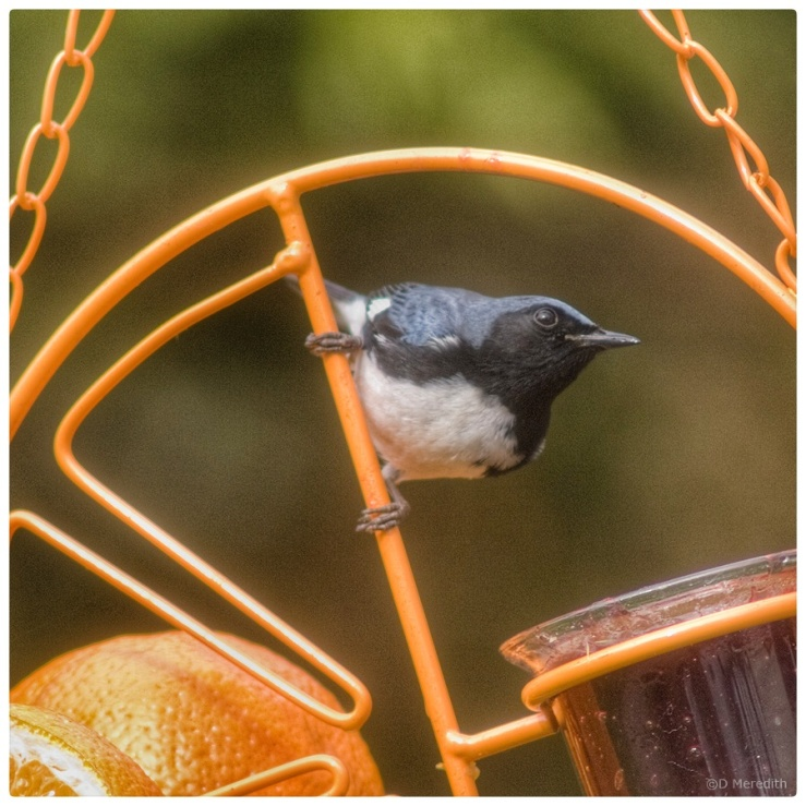 July Squares: Black-throated Blue Warbler.