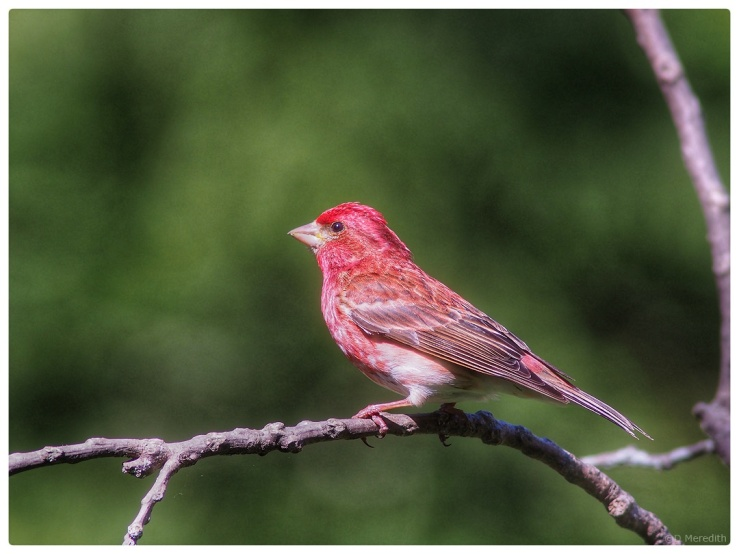 Purple Finch in the yard.