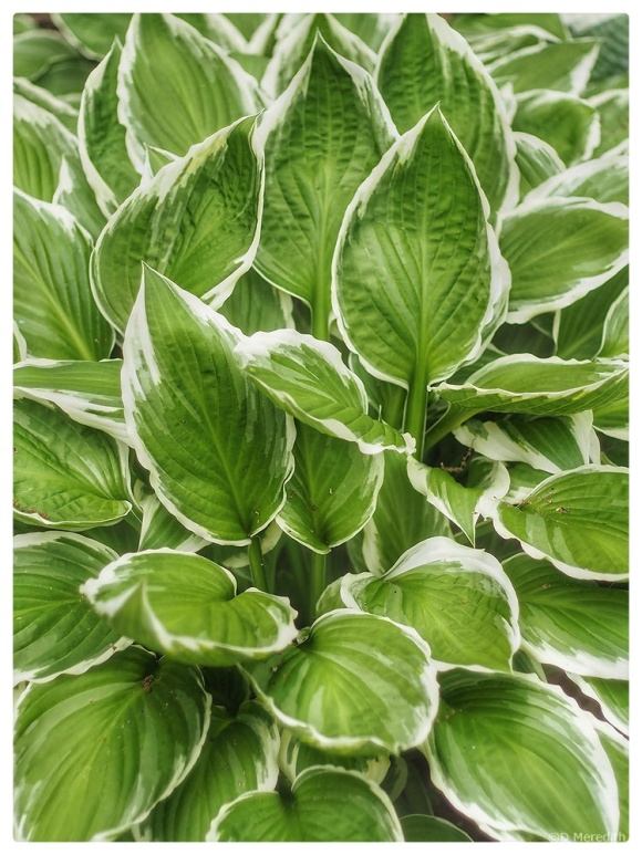 Details of some Hosta leaves.