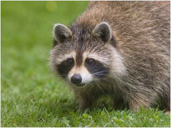 Spiky wet Racoon.