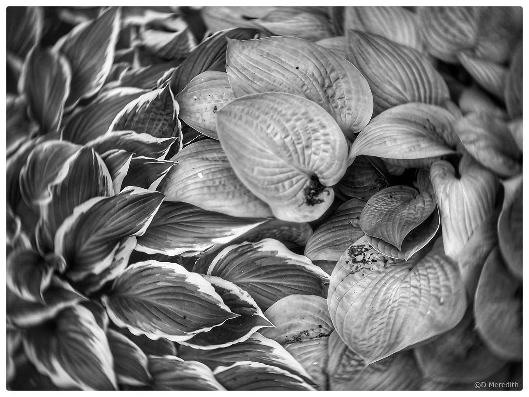 Hosta leaves in monochrome.