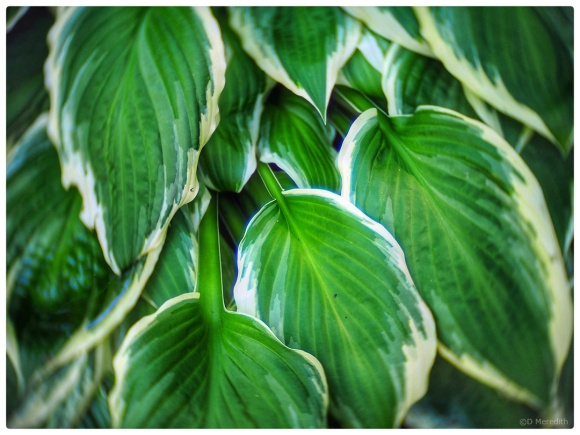 Variegated Hosta leaves.