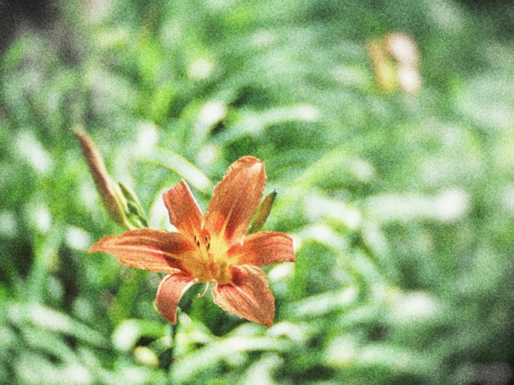 Orange Day-Lily high key Snapseed version.