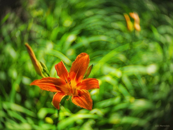 Lightly edited version of an Orange Day-Lily.