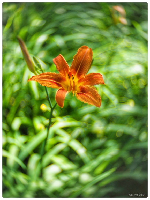 Orange Day-Lily with a swirly background.