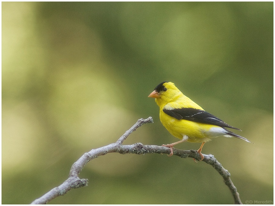 Male American Goldfinch.
