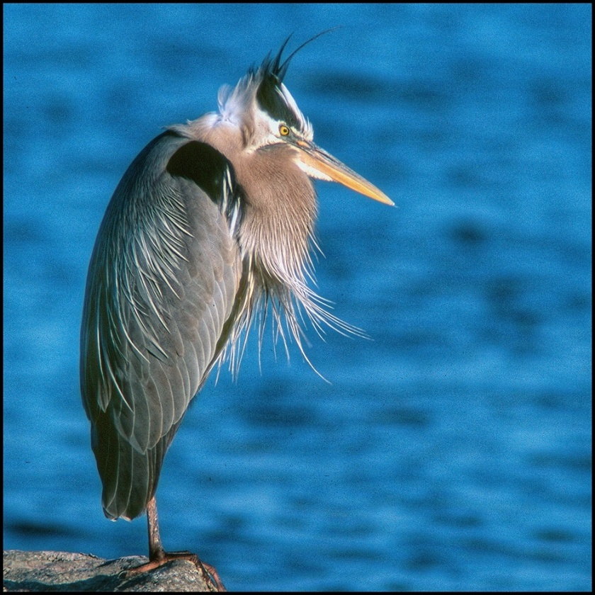 July Squares: Grumpy Great Blue Heron.