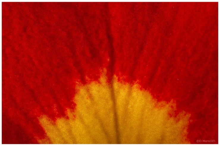 Detail of a Polyanthus petal.