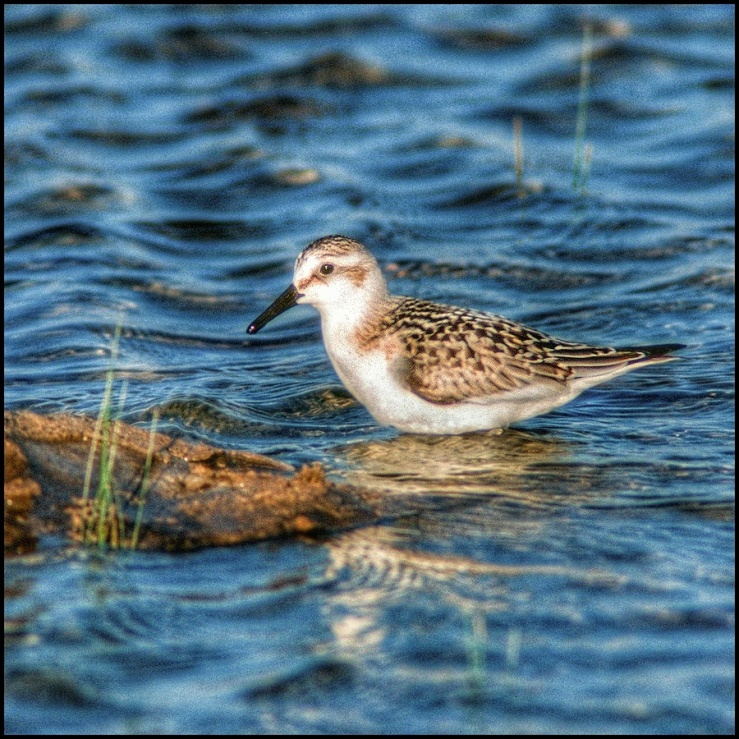 July Squares: Blue water, juvenile Sanderling.