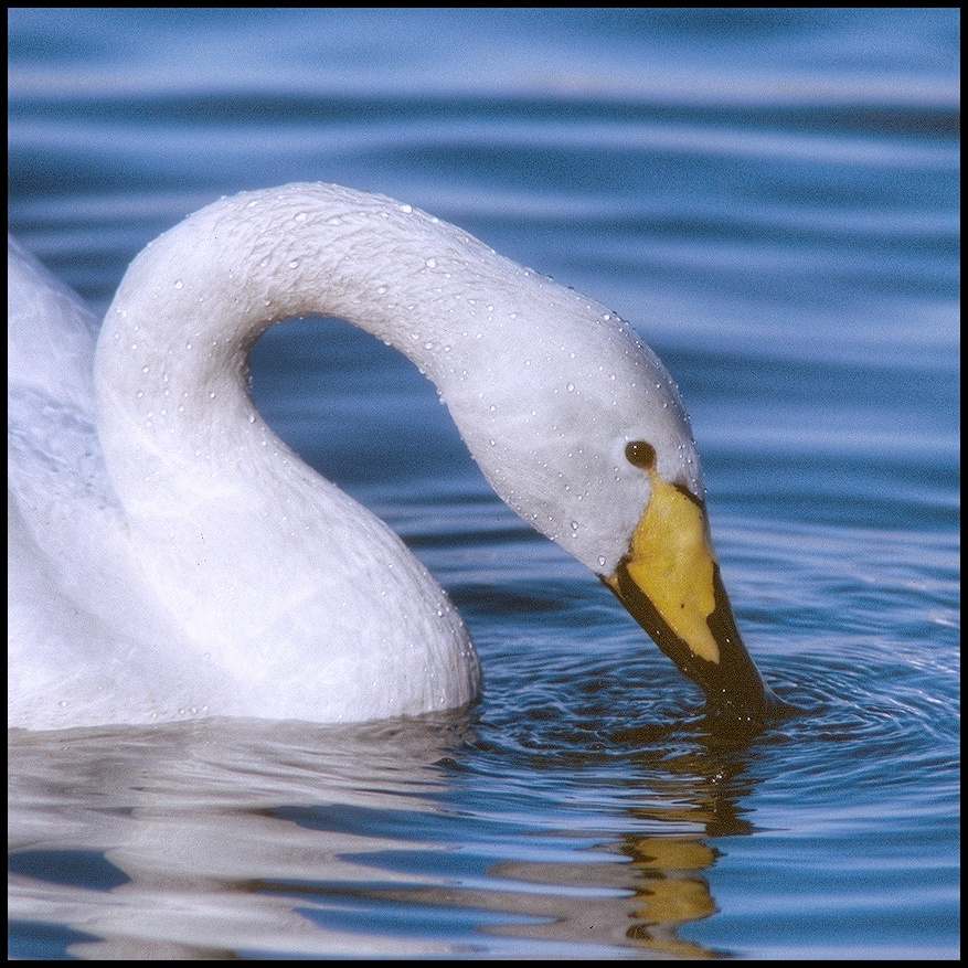 July Squares: Whooper Swan on Blue.