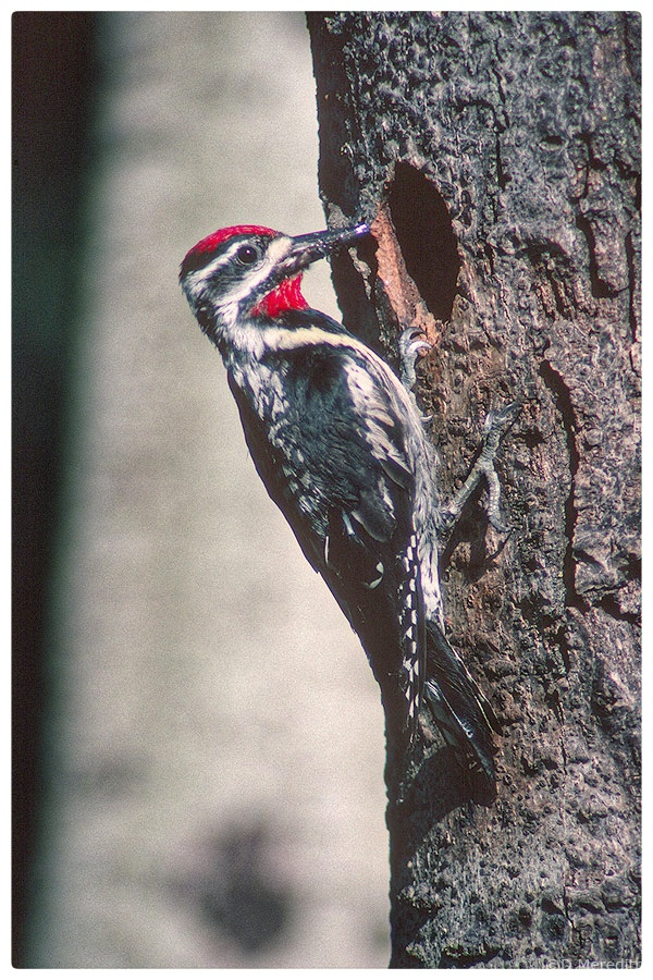 Yellow-bellied Sapsucker male.