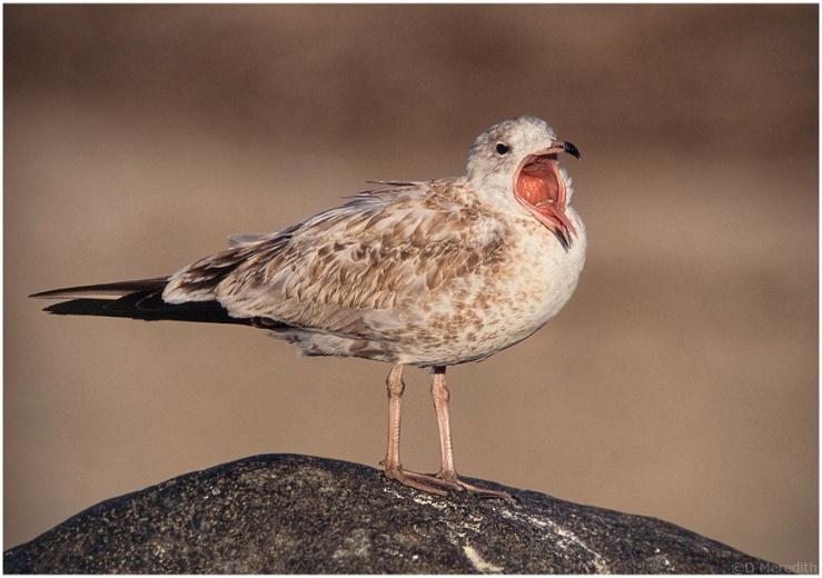 Yawning Ring-billed Gull.