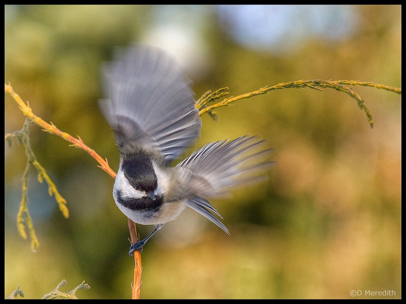 Black-capped Chickadee for Six Word Saturday.