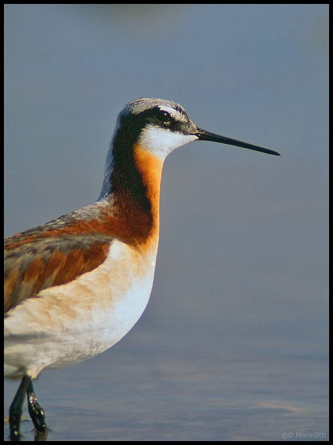 Wilson's Phalarope in profile.