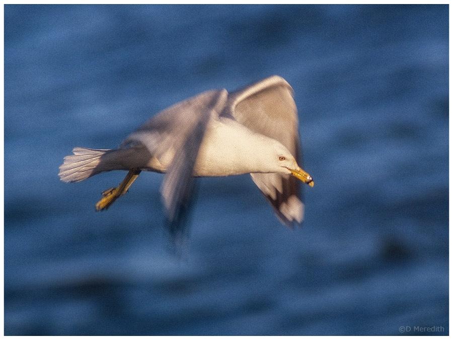 Ring-billed Gull patrolling the shoreline.