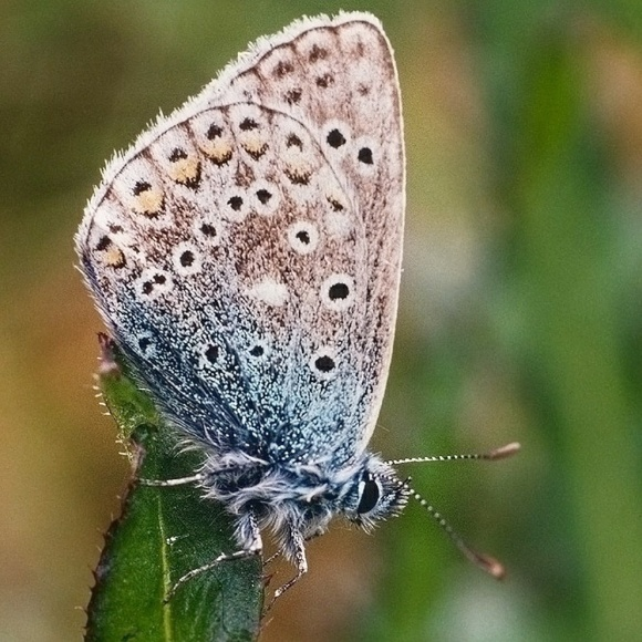 Common Blue Butterfly for Throwback Thursday.