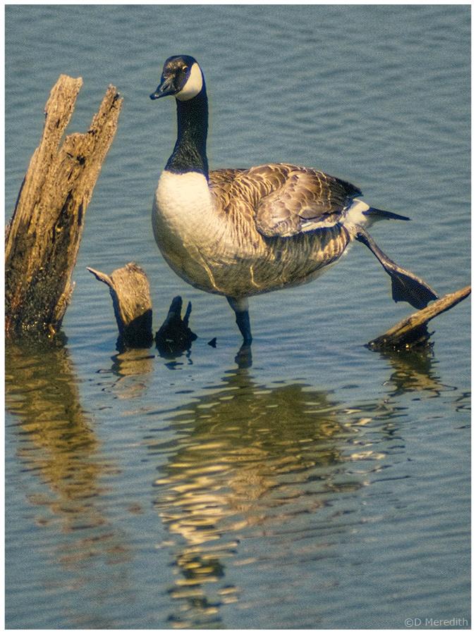 A Canada Goose having a stretch.
