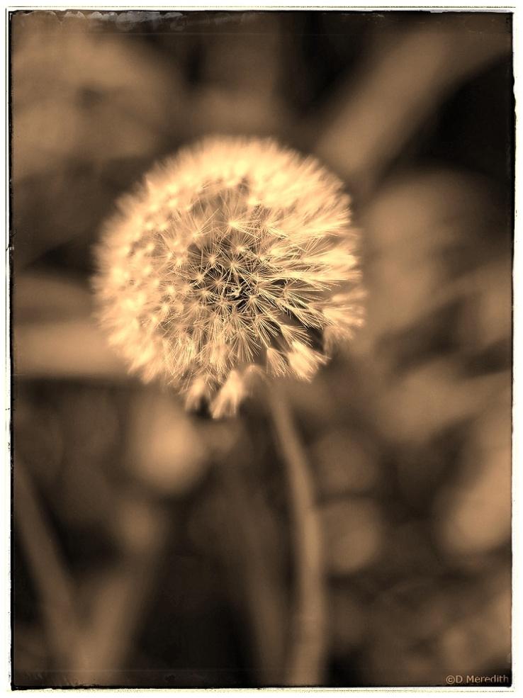 Weekly Prompts: Sepia Dandelion Clock.