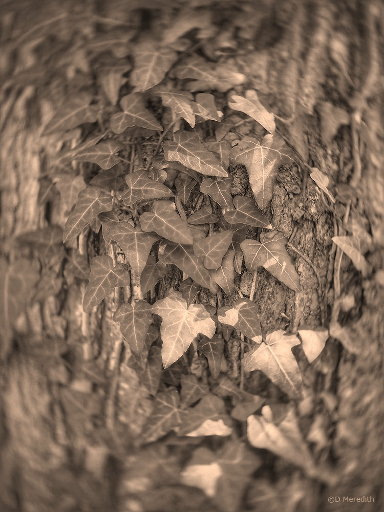 Weekly Prompts: Sepia Ivy Leaves.