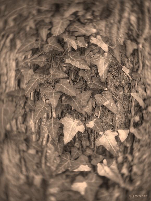 Weekly Prompts: Sepia Ivy Leaves.